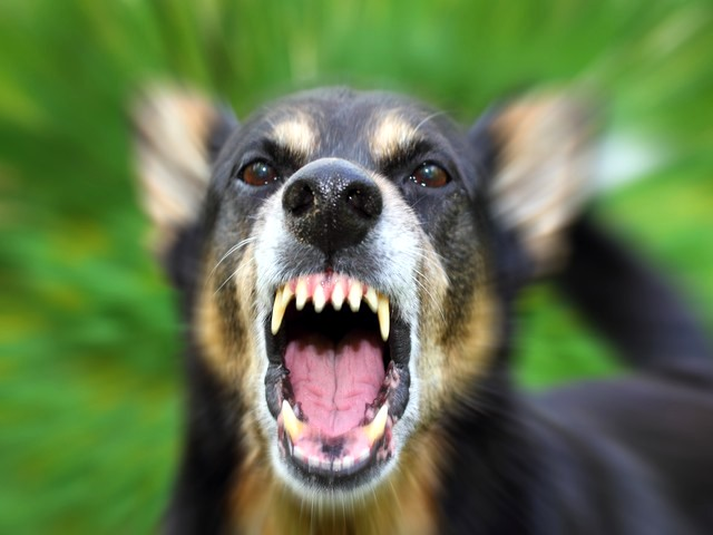 Aggressive dog: are born or made?