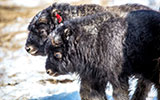 Universities Start Unique Veterinary Medicine Program to Benefit Alaska and Colorado